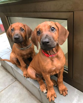 Rhodesian ridgeback top quality puppies available, sire Int CH, Multi CH, Grand CH Mwamba Lion Strength Shumba, dam CH Lobengula Maisha Ifama; show quality puppies available