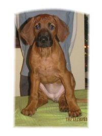 "Rhodesian ridgeback Masego Savanna Blessings ""Savanna"""
