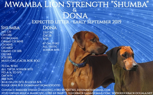 Rhodesian ridgeback puppies, rhodesian ridgeback new litter, reservation of puppies, available rhodesian ridgeback puppies, sire Mwamba Lion Strength Shumba
