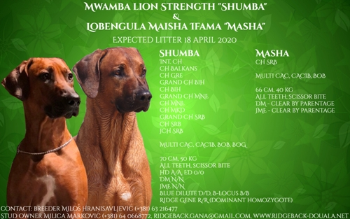 Rhodesian ridgeback expected litter, sire Mwamba Lion Strength Shumba, dam Lobengula Maisha Ifama Masha, reservation of puppies