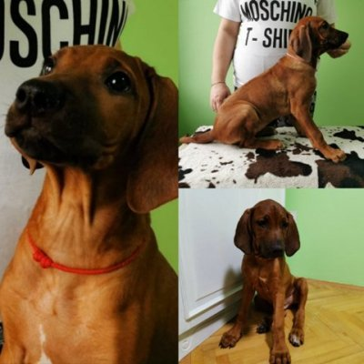 Rhodesian ridgeback puppies, ridgeback puppies, rhodesian ridgeback puppies for sale, ridgeback puppies for sale, available ridgeback puppies